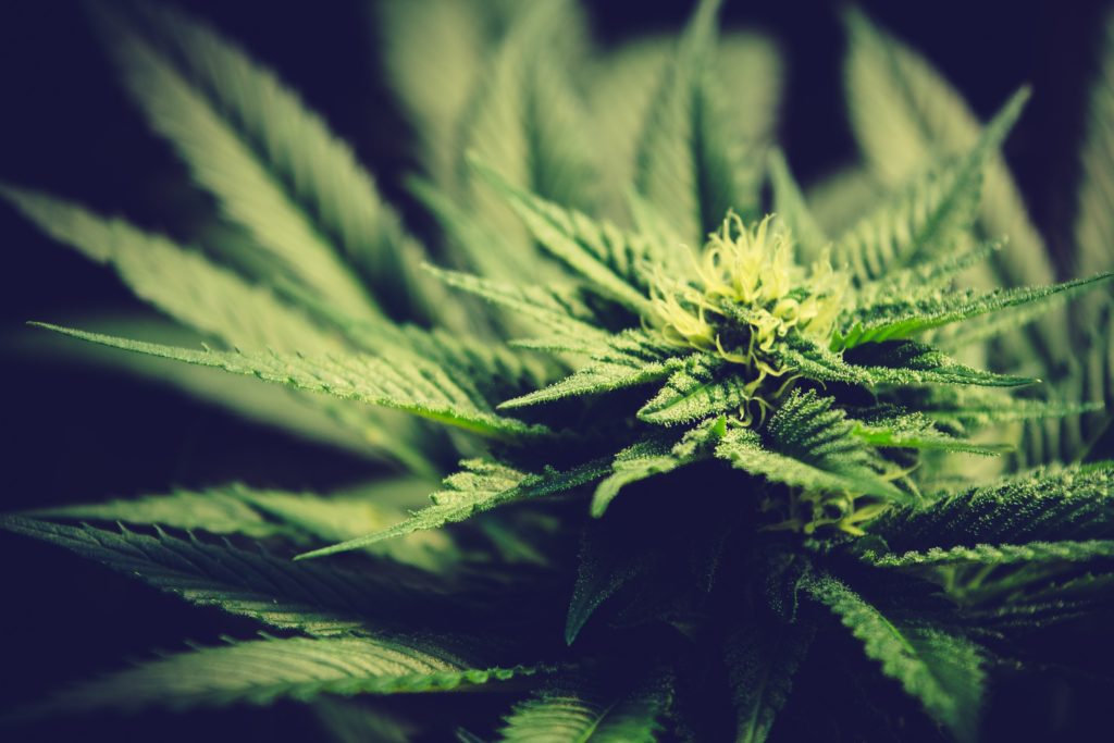 growing pains for recreational cannabis