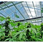 Navigating the Cannabis Market and Media Trends