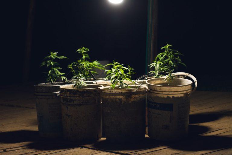 Growing cannabis around the world
